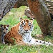 Trainen als een tijgerin